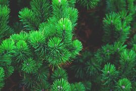 The lady in her 80s was charged an obscene amount of an hour's work trimming back a conifer Pic: Pixabay