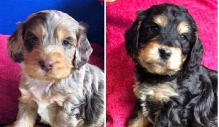 Two of the cockapoo puppies taken during the Tarleton raid