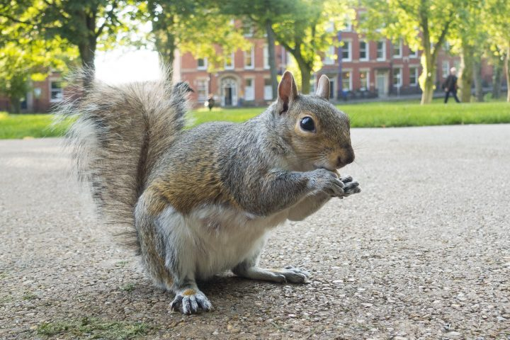 Grey Squirrel, Winckley Square Gardens Pic: David Toase