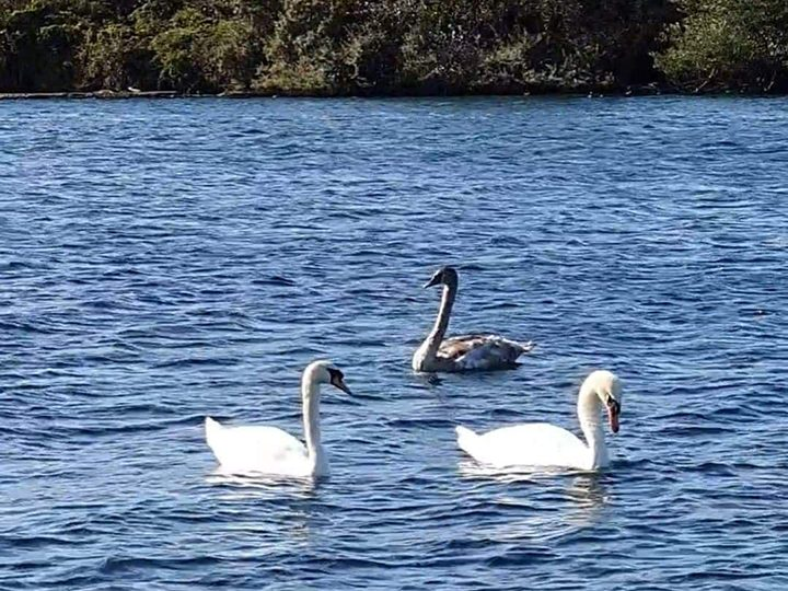 The cygnet approached two adult swans on the lake