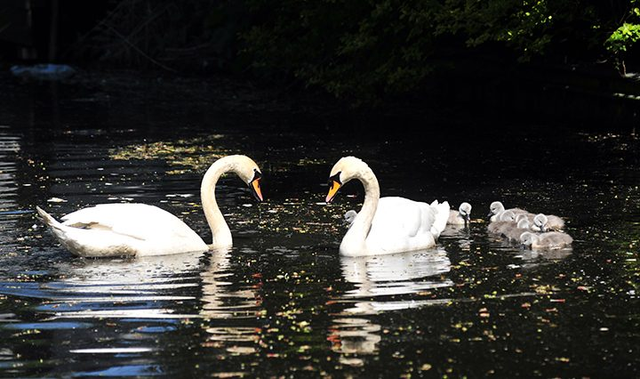 Swan parents with their babies