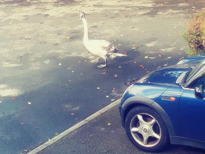 The cygnet appeared in the car par Pic: Alan Drew
