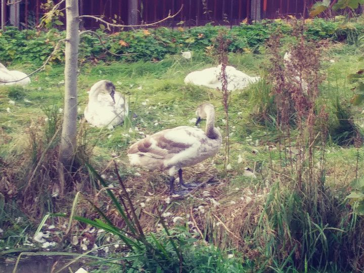The cygnet reunited with its family Pic: Alan Drew