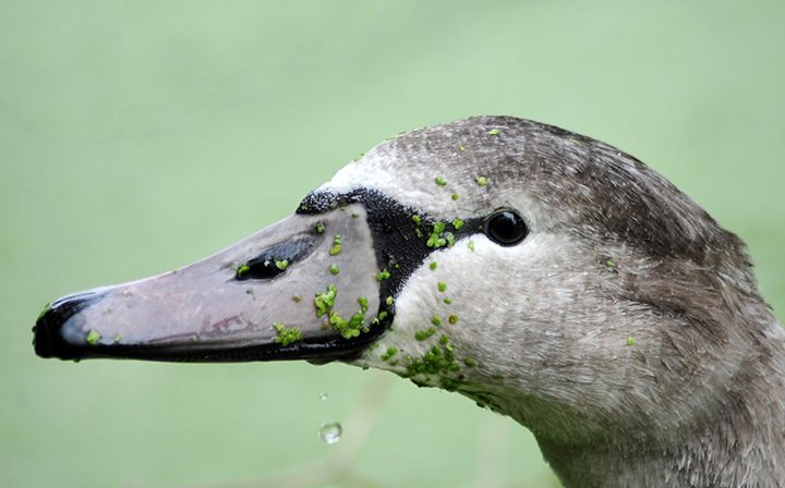 Cygnet with vegetation on its face