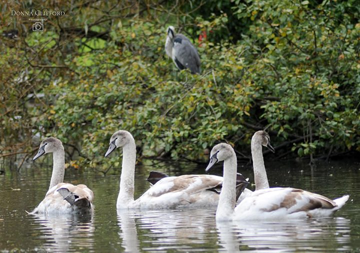 Four cygnets were spotted at Haslam Park on Saturday (10 October)