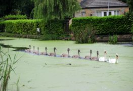 The swan family following each other along the Lancaster Canal