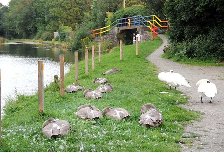 The swan family sleeping by the rainbow bridge