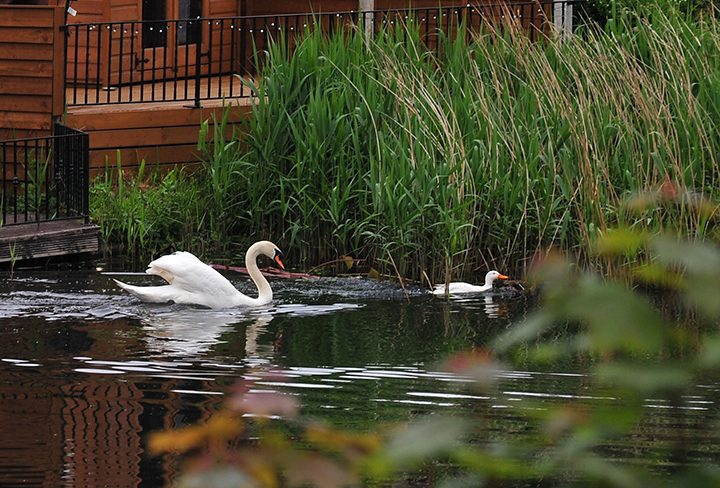 Territorial swan chasing duck away