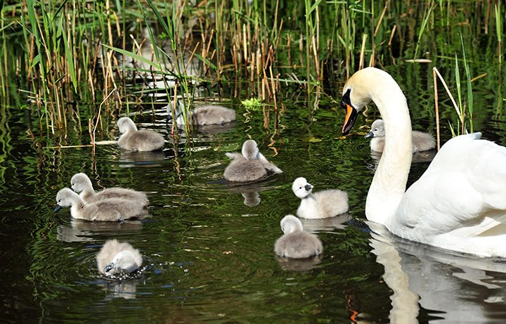 The cygnets at one day old