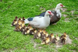 A picture of the duck family released by police Pic: Fylde Police