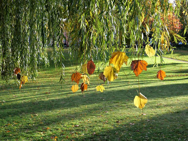 'Stitching' leaves onto the circumference of a willow tree. Photo by Lisa Brown.