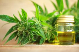 Cannabis plant and CBD oil Pic: Cibdol