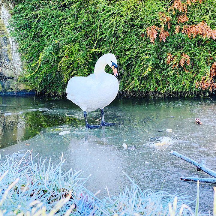 Swan on a frozen Lancaster Canal Pic: Steven Paul