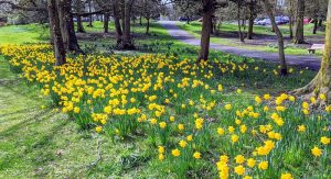 A wall of daffodils in Ashton Park Pic: Tony Worrall
