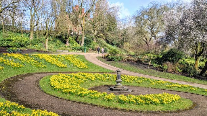 Daffodils in Miller Park Pic: Tony Worrall