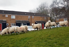 Lost flock of sheep in Ingol Pic: Ismail Nakhuda