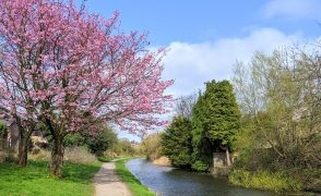 Pink blossom on the Lancaster Canal at Preston on Thursday 1 April Pic: Tony Worrall