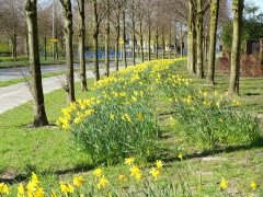 A carpet of daffodils in Cottam Pic: Tony Worrall