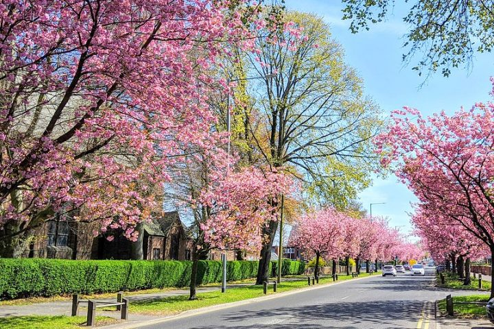 Spring blossoms down Blackpool Road Pic: Tony Worrall